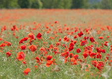 Field of flowering red poppies Royalty Free Stock Images