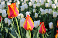 Field of flowering tulips. Field of flowering red, orange and white tulips stock photography