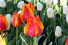 Field of flowering tulips. Field of flowering red, orange and white tulips royalty free stock photo