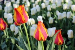 Field of flowering tulips. Field of flowering red, orange and white tulips stock images