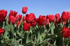 Field of flowering tulips in red Royalty Free Stock Image