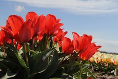 Field of flowering tulips in red Stock Photo