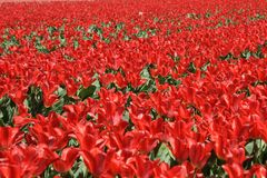 Field of flowering tulips in red Royalty Free Stock Photo