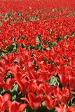 Field of flowering tulips in red Royalty Free Stock Photos