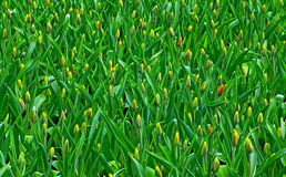 Field of flowering tulips Stock Image