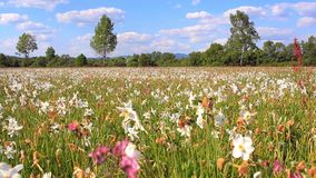 Field of flowering white daffodils. Beautiful flower landscape. Spring flower meadow. Spring bed with beautiful white daffodils. Summer field of white stock video