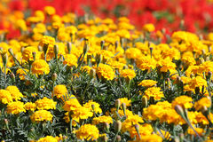 Field of flowers. Yellow and red row stock photos