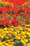 Field of flowers. Yellow and red row royalty free stock photo