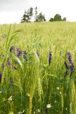 Field with flowers Royalty Free Stock Photos