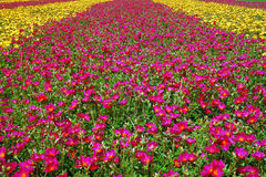 Field of flowers. A close up shot of a field of flowers Royalty Free Stock Image