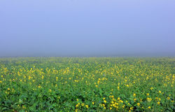 Field of flowers Royalty Free Stock Image