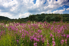 Field of flowers Royalty Free Stock Images