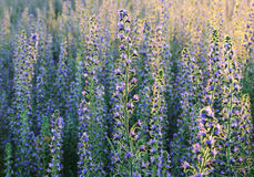 Field of flowers. Field of blue flowers in eveninf sunlight Royalty Free Stock Images