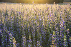 Field of flowers. In evening sunlight Stock Images