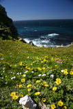 Field of flowers. Cape of good hope, south africa Stock Image