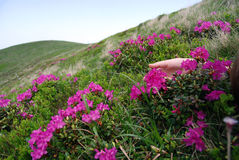 Field of flowers. The ridge of a mountain covered with pink flowers Royalty Free Stock Photos