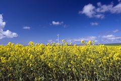 Field of flowers. A field of yellow flowers with a windmill in the background Stock Photo