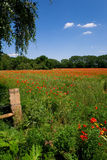 Field with flowers. Field with red poppies flowers against blue sky Royalty Free Stock Images