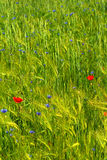 Field with flowers Stock Image