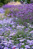Field of flowers. A field of lilac colored flowers Royalty Free Stock Photos
