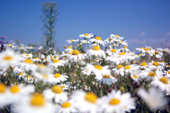 The field of flowers Royalty Free Stock Photos