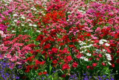 Field of flowers. Field of different colors flowers Royalty Free Stock Photo