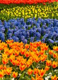 Field of flowers. Field of colorful hyacinths and tulips Stock Photography