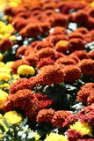 Field of flowers. Orange and Yellow Chrysanthemum field Royalty Free Stock Images