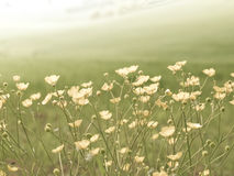 Field flowers Royalty Free Stock Images