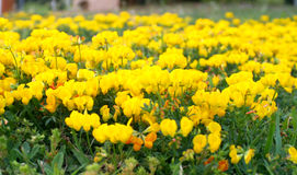 Field of flowers. Field of yellow flowers, using selective focus Stock Photography