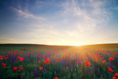 Field with flowers against the sunset sky Stock Photos