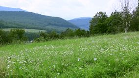 Field with flowers on a background of mountains.  stock video footage