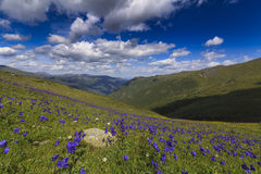 Field of flowers on a background of the  mountains Stock Images