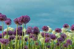 Field of Flowers and Blue Sky. A close up of a field of sunlit purple and white allium flowers with a powdery blue sky.  Horizontal. Copy space Stock Images