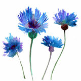Field flowers. Blue Field flowers. watercolor illustration Stock Image