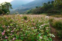 Field of Flowers buckwheat at Ha Giang, Viet Nam. Stock Image