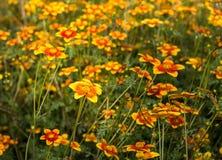 Field of flowers called Bidens Ricadente in spring Stock Photos