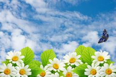 Field flowers of camomile on a background blue sky. Collage Royalty Free Stock Photography