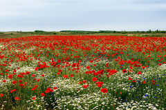 Landscape with poppies and chamomile-6 Stock Photos