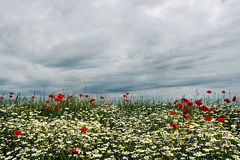 Landscape with poppies and chamomile-4 Stock Images