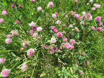 Field flowers. Clover growing in the meadow, summer Stock Photography
