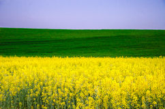 Field of flowers of colza. One third colza plants, in the middle raw wheat, upper third, nice blue sky Stock Image