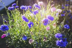 Field flowers of cornflowers Centaurea cyanus in the bright sunlight on a summer day. Closeup, soft focus royalty free stock photos
