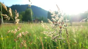 Field flowers sunset plant. Field and flowers of daisies at sunset stock footage