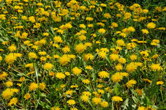 Field with flowers of dandelion. Field with blooming flowers of dandelion royalty free stock photo
