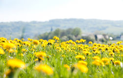 The field of flowers - dandelions Royalty Free Stock Photos