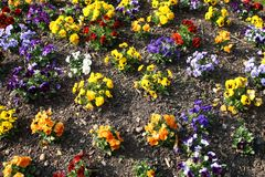 Flowering flowers at the beginning of the spring royalty free stock photography