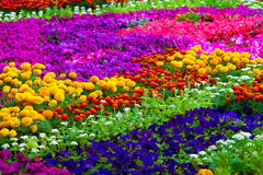 Field of flowers of different colors Stock Images