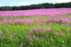 Field of flowers. Fireweed blooming in summer in Siberia Royalty Free Stock Photography