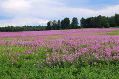 Field of flowers. Fireweed blooming in summer in Siberia Stock Photos